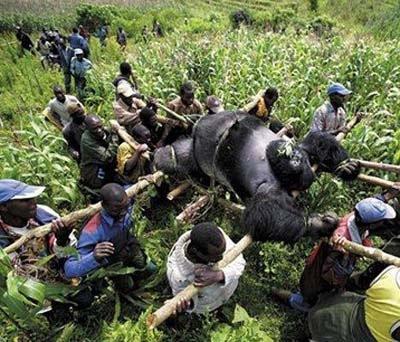 abomination gorille