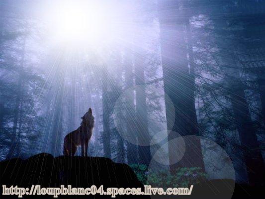 Loup-Blanc en forêt