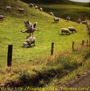 Loup Saute-Mouton