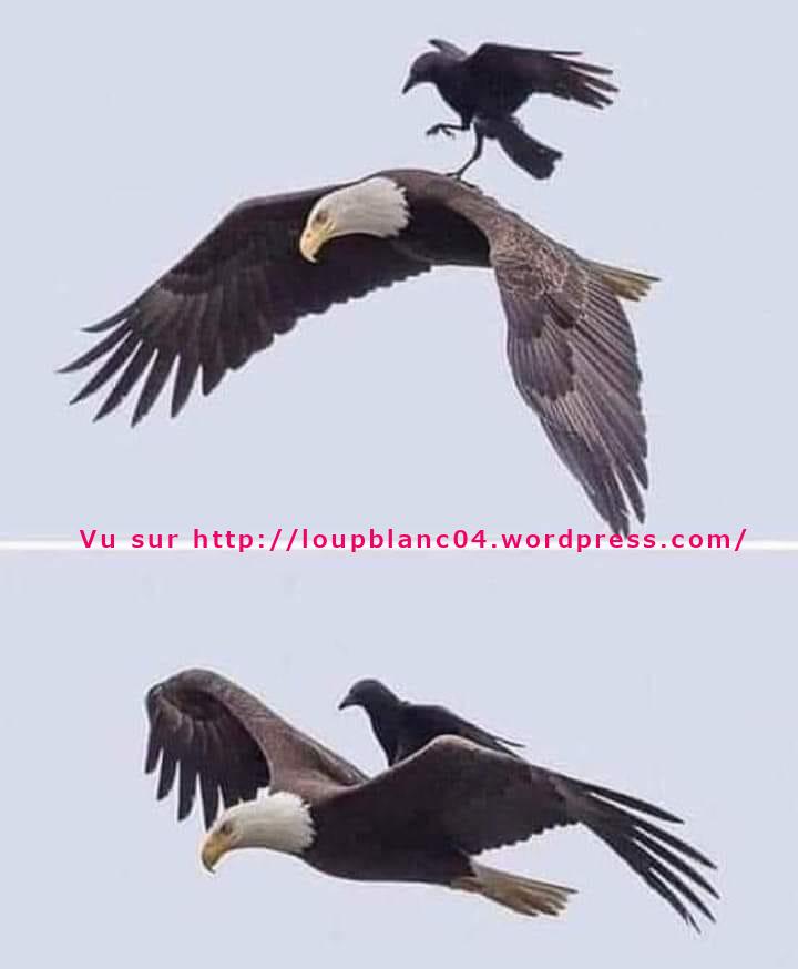 @ Le Loup l'Aigle et le corbeau